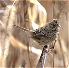 Lincoln's Sparrow by davidraymond